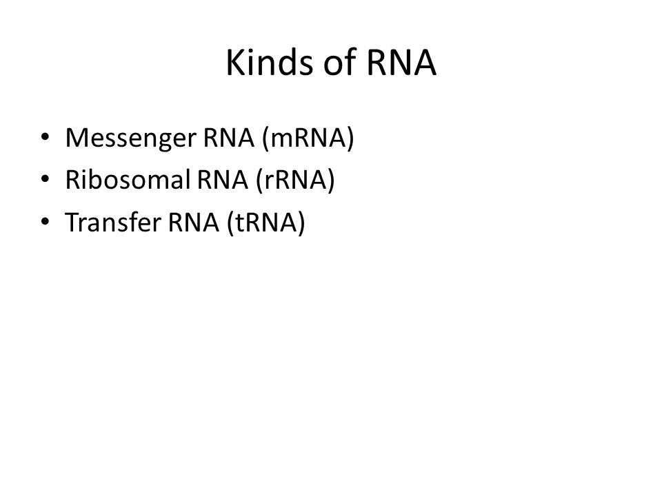 Kinds of RNA Messenger RNA (mRNA) Ribosomal RNA (rRNA) Transfer RNA (tRNA)