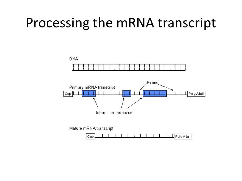 Processing the mRNA transcript