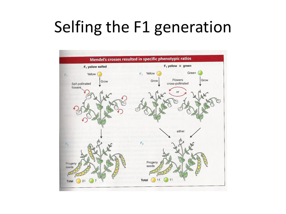 Selfing the F1 generation