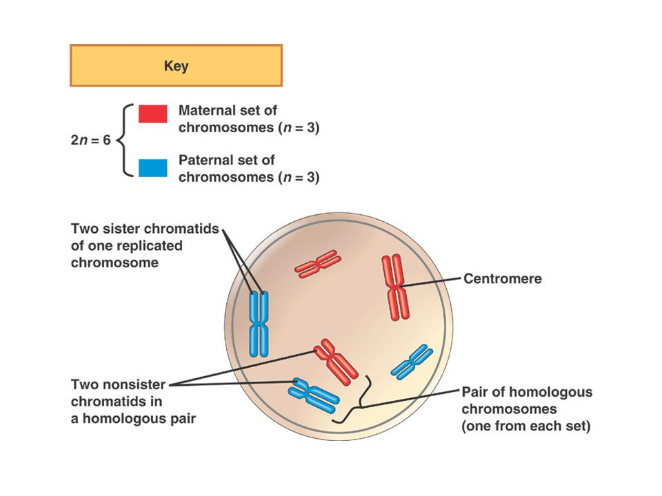 B.The Role of Meiosis in Sexual Life Cycles –1. Human cells contain sets of chromosomes.