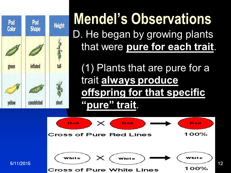 5/11/201512 Mendel's Observations D. He began by growing plants that were pure for each trait.