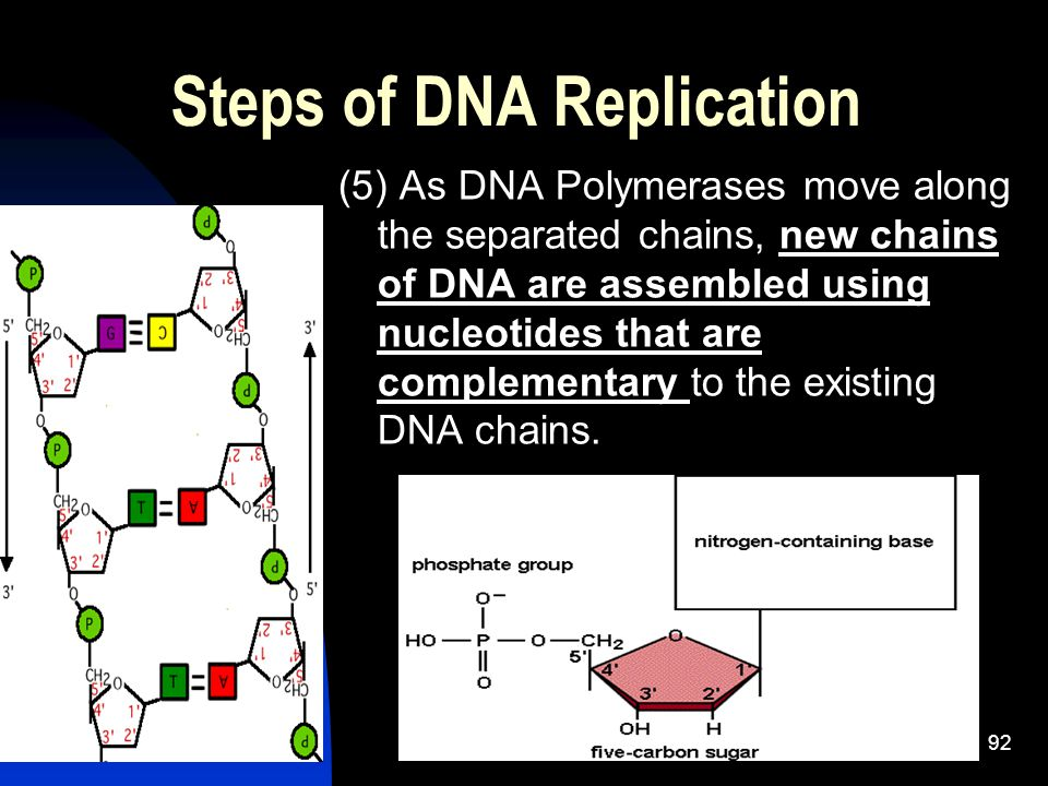 Steps of DNA Replication (5) As DNA Polymerases move along the separated chains, new chains of DNA are assembled using nucleotides that are complementary to the existing DNA chains.