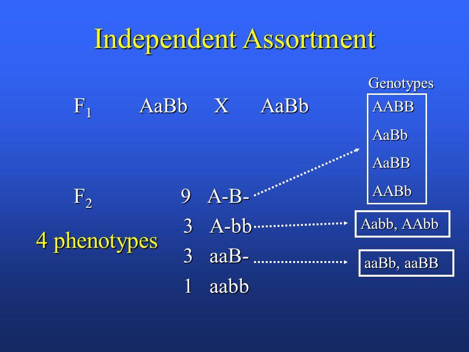 Independent Assortment F 1 AaBb X AaBb F 1 AaBb X AaBb F 2 9 A-B- F 2 9 A-B- 3 A-bb 3 A-bb 3 aaB- 3 aaB- 1 aabb 1 aabb 4 phenotypes AABBAaBbAaBBAABb Genotypes Aabb, AAbb aaBb, aaBB