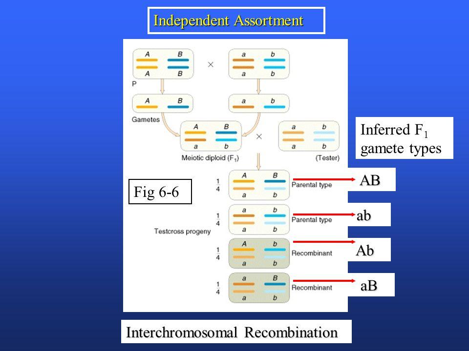 Fig 6-6 Independent Assortment Interchromosomal Recombination AB AB ab ab Ab Ab aB aB Inferred F 1 gamete types