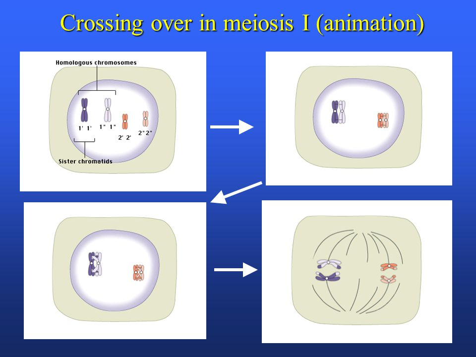 Crossing over in meiosis I (animation)