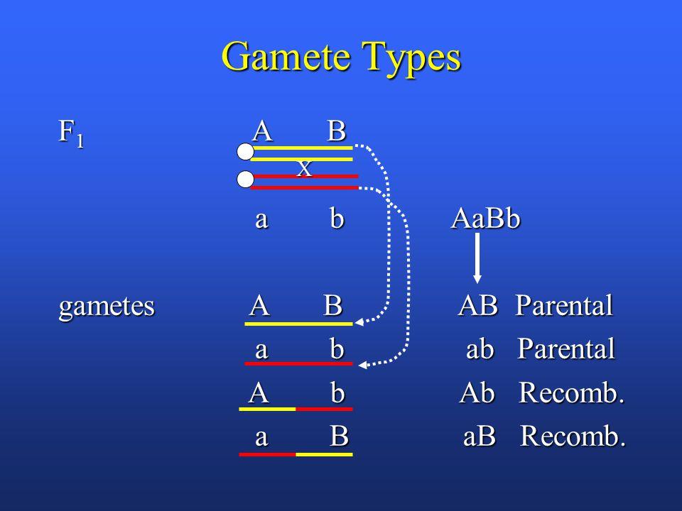 Gamete Types F 1 A B a b AaBb a b AaBb gametes A B AB Parental a b ab Parental a b ab Parental A b Ab Recomb.