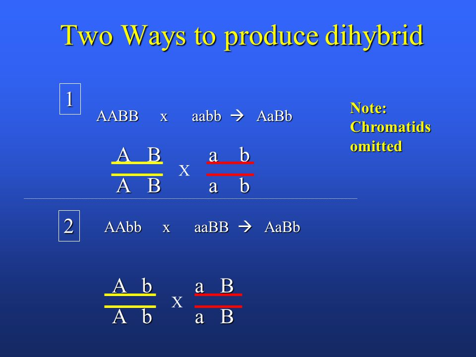 Two Ways to produce dihybrid A B a b X 1 Note: Chromatids omitted AABB x aabb  AaBb A b a B X 2 AAbb x aaBB  AaBb