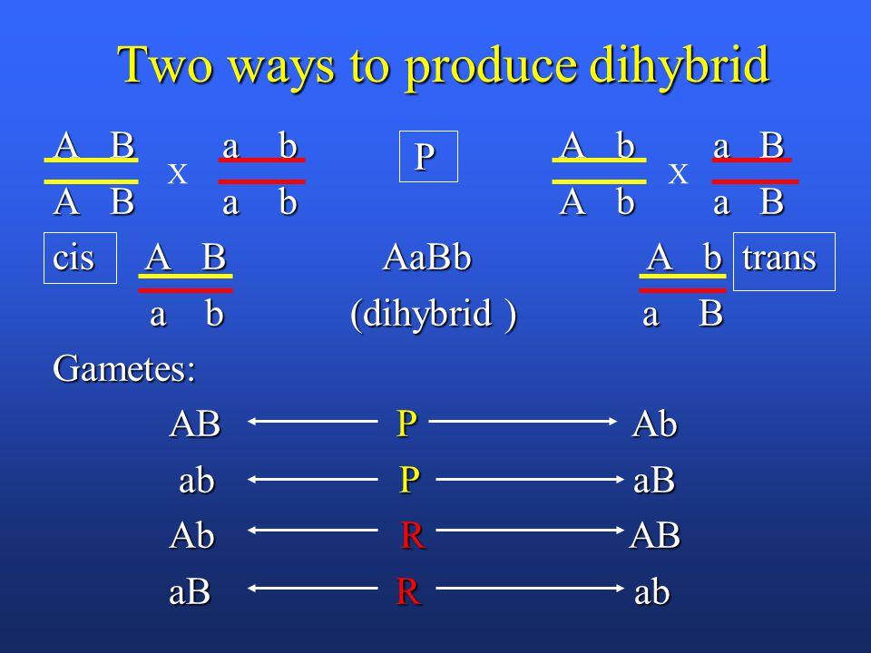 Two ways to produce dihybrid A B a b A b a B cis A B AaBb A b trans a b (dihybrid ) a B a b (dihybrid ) a BGametes: AB P Ab AB P Ab ab P aB ab P aB Ab R AB Ab R AB aB R ab aB R ab XX P