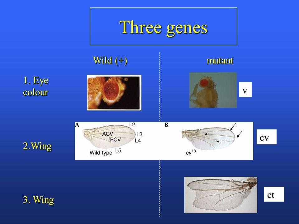 Three genes 1. Eye colour 2.Wing 3. Wing Wild (+) mutant v cv ct