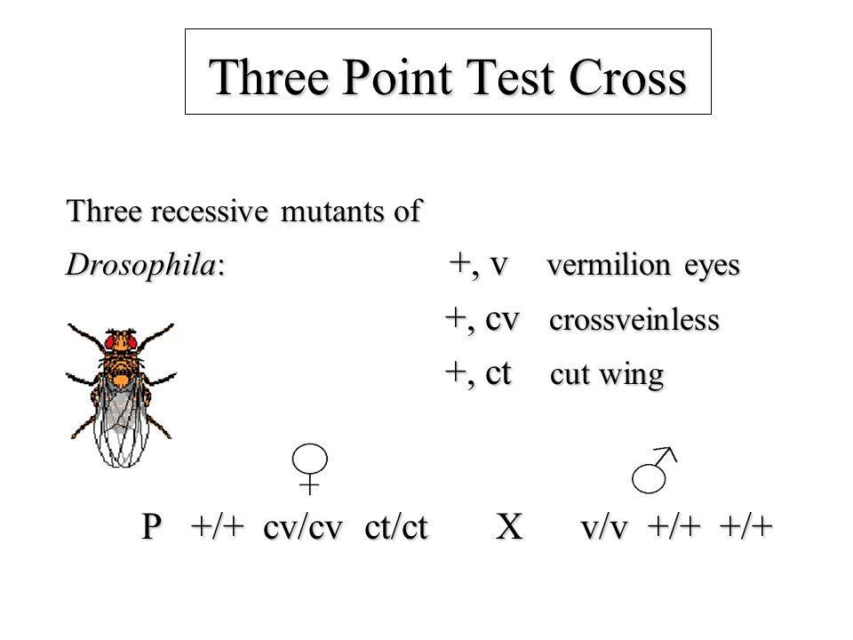 Three Point Test Cross Three recessive mutants of Drosophila: +, v vermilion eyes +, cv crossveinless +, cv crossveinless +, ct cut wing +, ct cut wing P +/+ cv/cv ct/ct X v/v +/+ +/+ P +/+ cv/cv ct/ct X v/v +/+ +/+