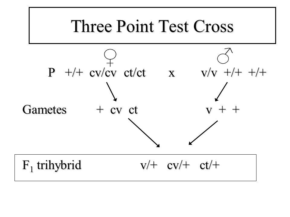 Three Point Test Cross P +/+ cv/cv ct/ct x v/v +/+ +/+ P +/+ cv/cv ct/ct x v/v +/+ +/+ Gametes + cv ct v + + F 1 trihybrid v/+ cv/+ ct/+