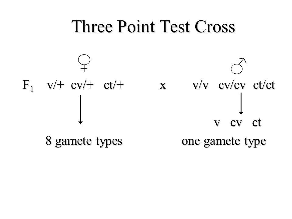Three Point Test Cross F 1 v/+ cv/+ ct/+ x v/v cv/cv ct/ct v cv ct v cv ct 8 gamete types one gamete type 8 gamete types one gamete type