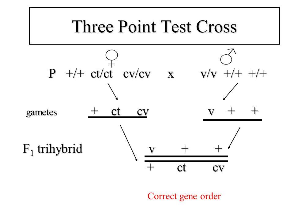 Three Point Test Cross P +/+ ct/ct cv/cv x v/v +/+ +/+ P +/+ ct/ct cv/cv x v/v +/+ +/+ gametes + ct cv v + + gametes + ct cv v + + F 1 trihybrid v + + + ct cv + ct cv Correct gene order