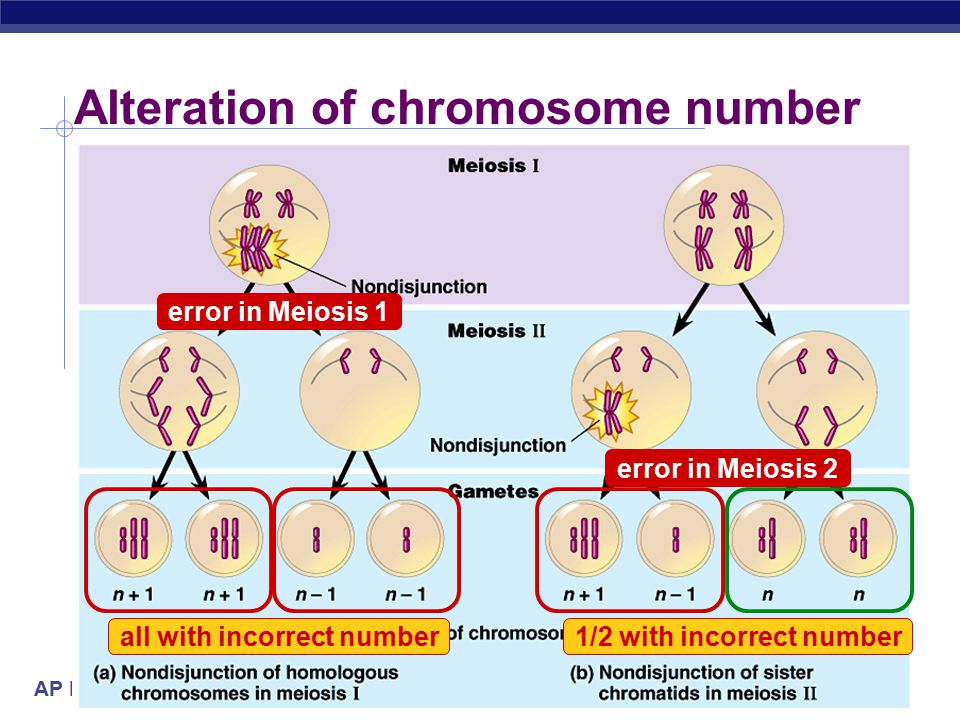 AP Biology Nondisjunction  Problems with meiotic spindle cause errors in daughter cells  homologous chromosomes do not separate properly during Meiosis 1  sister chromatids fail to separate during Meiosis 2  too many or too few chromosomes 2n n n n-1 n+1