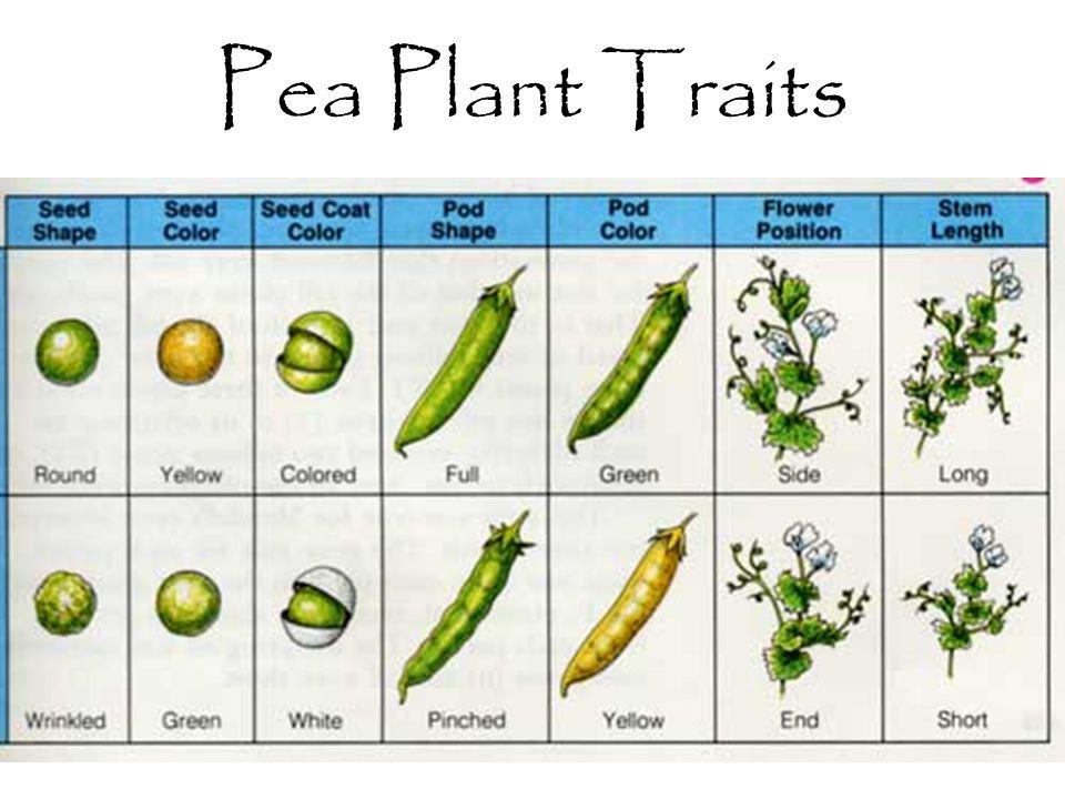Pea Plant Traits