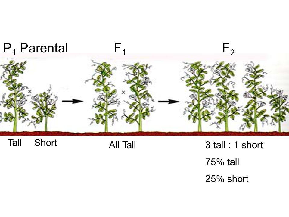 P 1 Parental TallShort All Tall F1F1 F2F2 3 tall : 1 short 75% tall 25% short