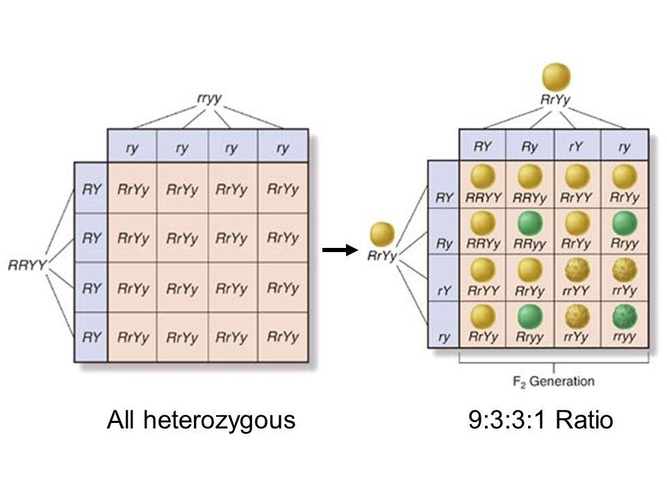 All heterozygous9:3:3:1 Ratio