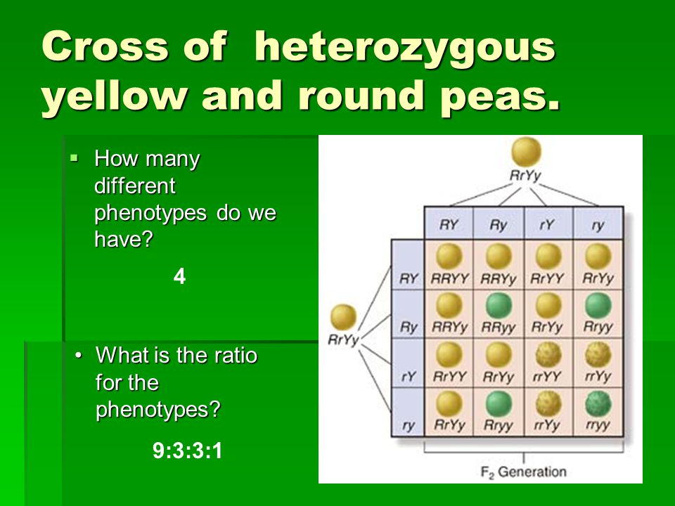 Cross of heterozygous yellow and round peas.  How many different phenotypes do we have? 4 What is the ratio for the phenotypes?What is the ratio for