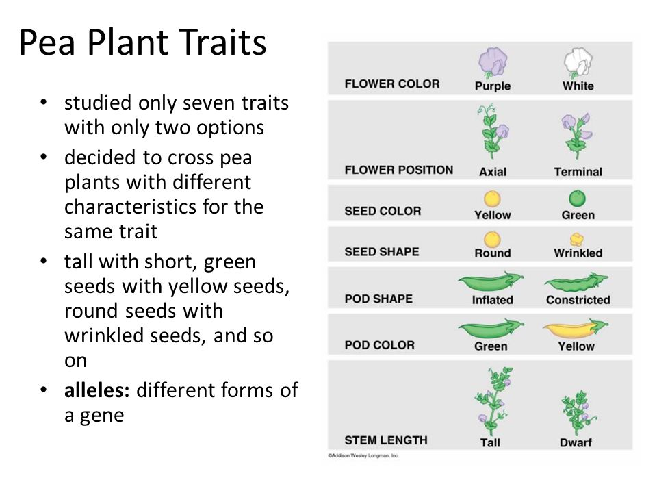 Pea Plant Traits studied only seven traits with only two options decided to cross pea plants with different characteristics for the same trait tall with short, green seeds with yellow seeds, round seeds with wrinkled seeds, and so on alleles: different forms of a gene