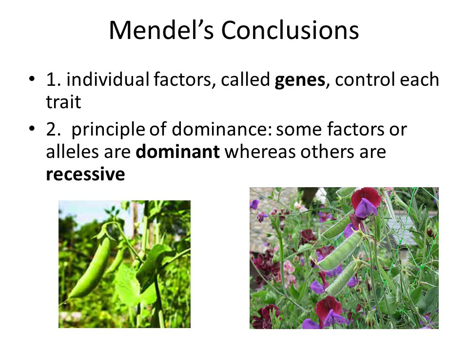 Mendel's Conclusions 1.individual factors, called genes, control each trait 2.