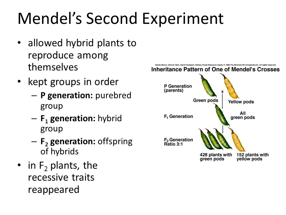 Mendel's Second Experiment allowed hybrid plants to reproduce among themselves kept groups in order – P generation: purebred group – F 1 generation: hybrid group – F 2 generation: offspring of hybrids in F 2 plants, the recessive traits reappeared