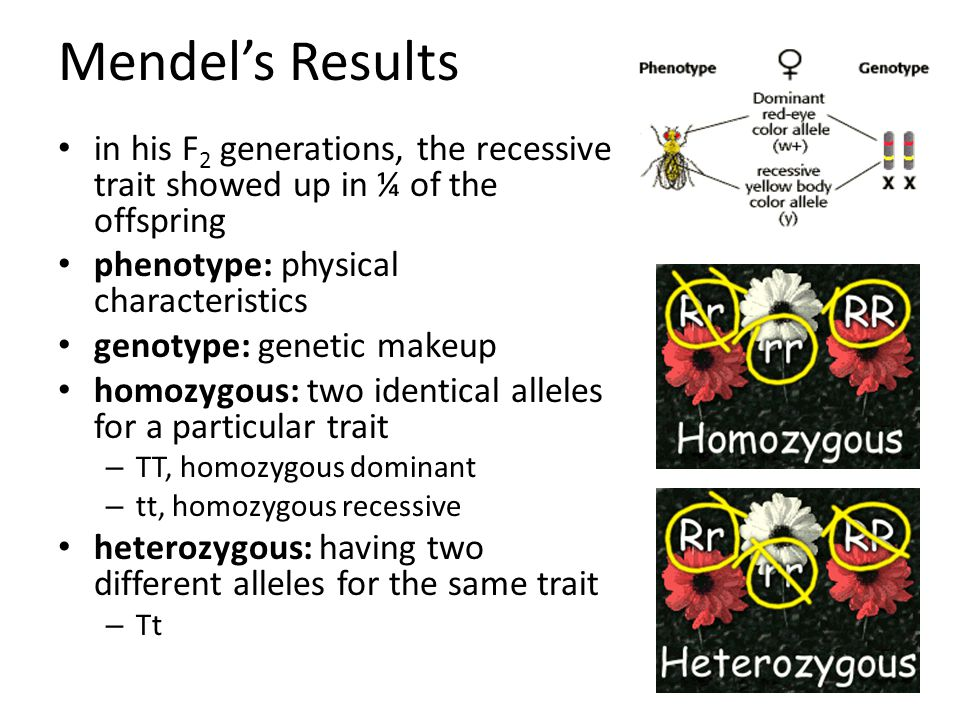 Mendel's Results in his F 2 generations, the recessive trait showed up in ¼ of the offspring phenotype: physical characteristics genotype: genetic makeup homozygous: two identical alleles for a particular trait – TT, homozygous dominant – tt, homozygous recessive heterozygous: having two different alleles for the same trait – Tt