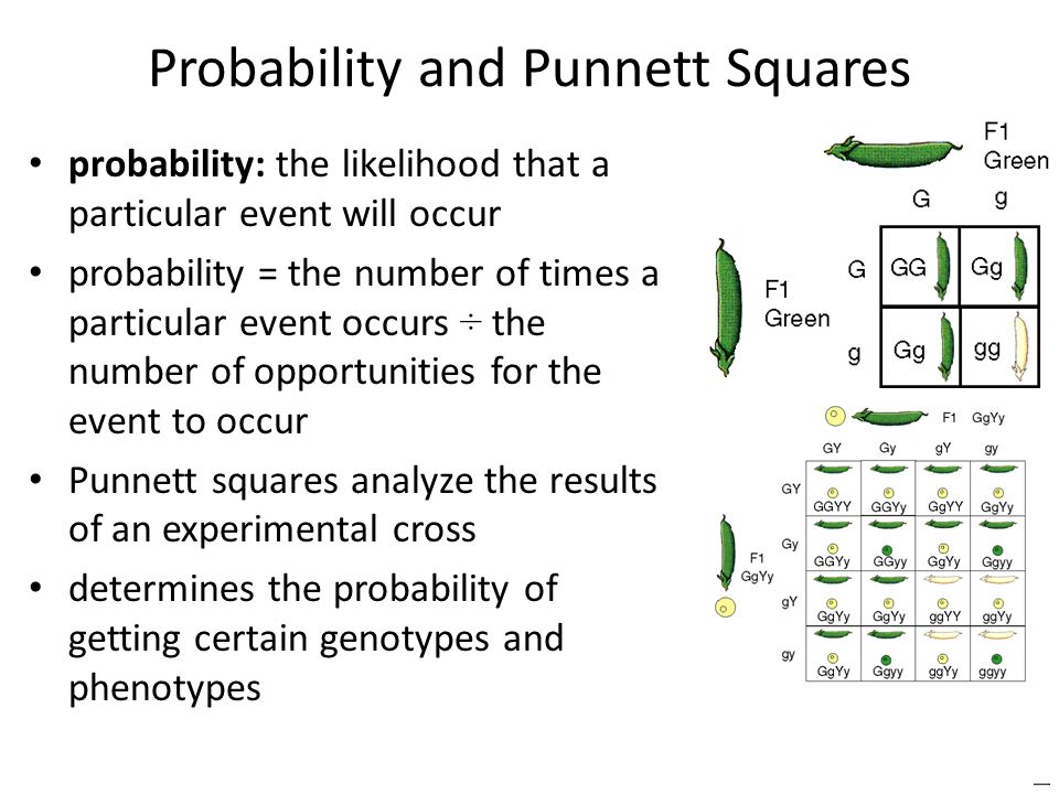 Probability and Punnett Squares probability: the likelihood that a particular event will occur probability = the number of times a particular event occurs ÷ the number of opportunities for the event to occur Punnett squares analyze the results of an experimental cross determines the probability of getting certain genotypes and phenotypes