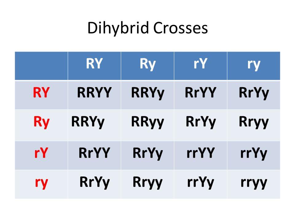 Dihybrid Crosses RYRyrYry RYRRYYRRYyRrYYRrYy RyRRYyRRyyRrYyRryy rYRrYYRrYyrrYYrrYy ryRrYyRryyrrYyrryy