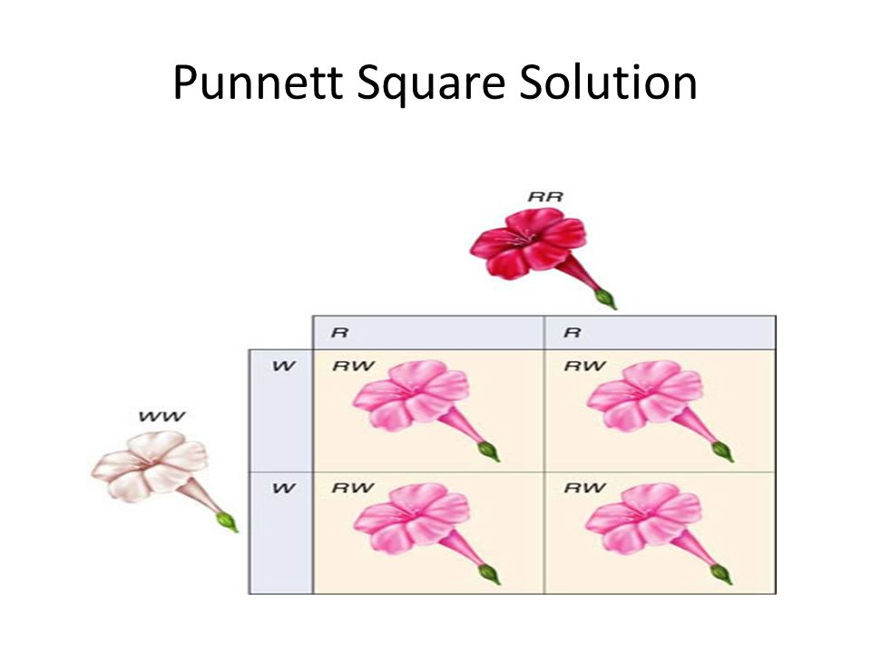 Punnett Square Solution