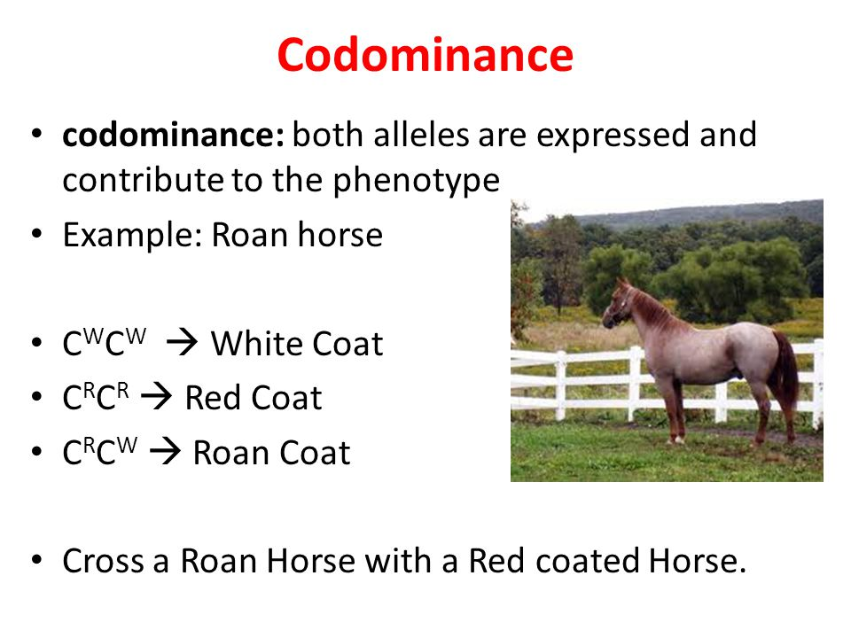Codominance codominance: both alleles are expressed and contribute to the phenotype Example: Roan horse C W C W  White Coat C R C R  Red Coat C R C W  Roan Coat Cross a Roan Horse with a Red coated Horse.