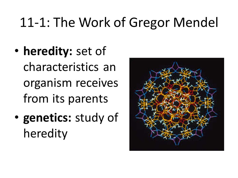11-1: The Work of Gregor Mendel heredity: set of characteristics an organism receives from its parents genetics: study of heredity
