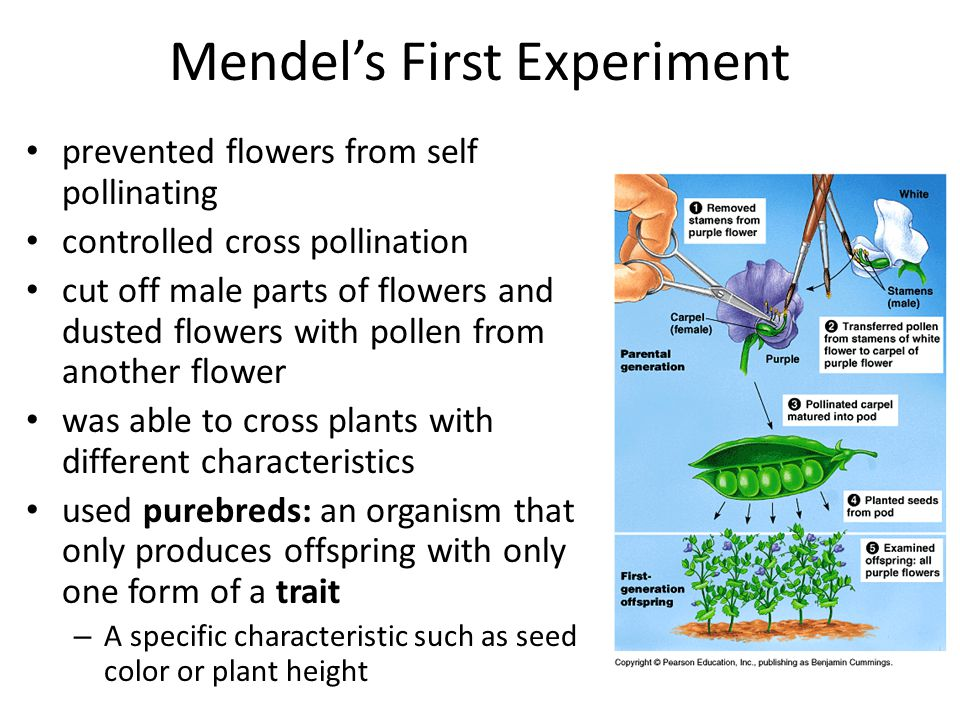 Mendel's First Experiment prevented flowers from self pollinating controlled cross pollination cut off male parts of flowers and dusted flowers with pollen from another flower was able to cross plants with different characteristics used purebreds: an organism that only produces offspring with only one form of a trait – A specific characteristic such as seed color or plant height