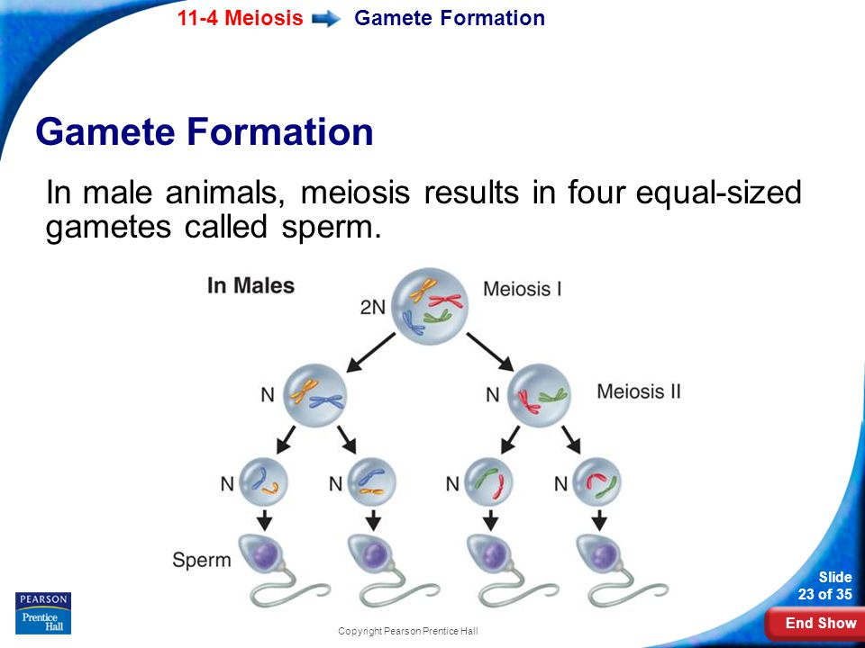 End Show 11-4 Meiosis Slide 23 of 35 Copyright Pearson Prentice Hall Gamete Formation In male animals, meiosis results in four equal-sized gametes cal