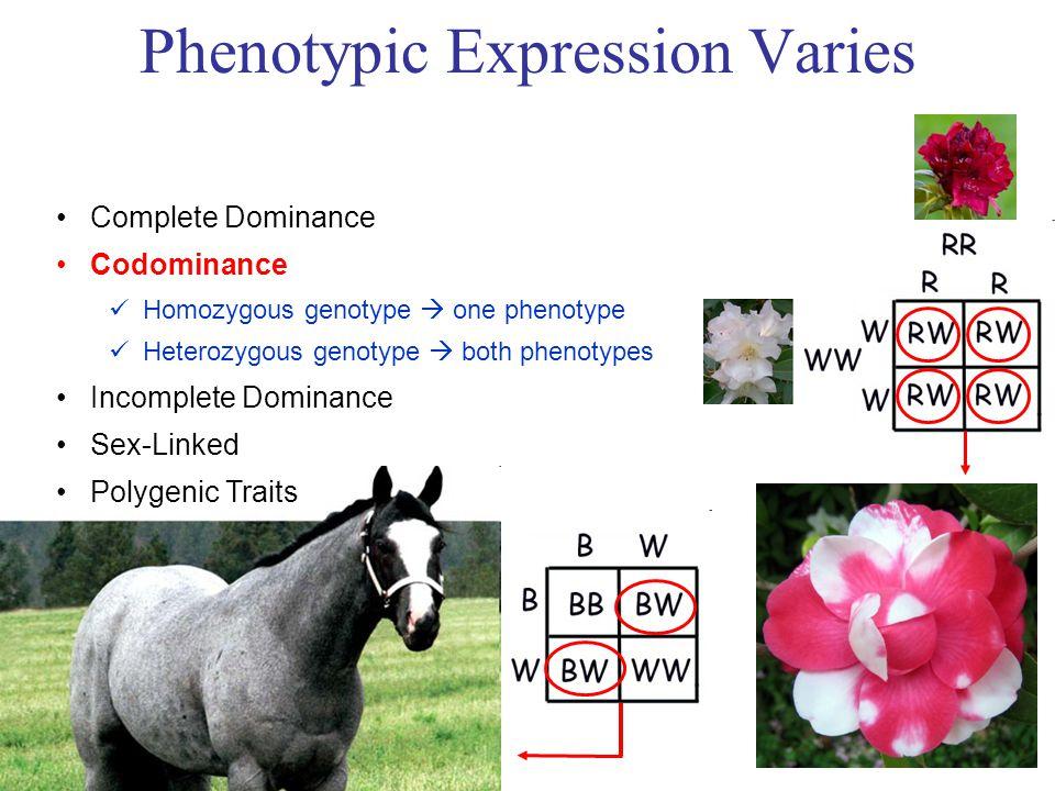 Phenotypic Expression Varies Complete Dominance Codominance Homozygous genotype  one phenotype Heterozygous genotype  both phenotypes Incomplete Dominance Sex-Linked Polygenic Traits