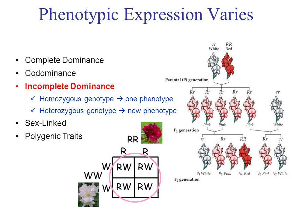 Complete Dominance Codominance Incomplete Dominance Homozygous genotype  one phenotype Heterozygous genotype  new phenotype Sex-Linked Polygenic Traits Phenotypic Expression Varies