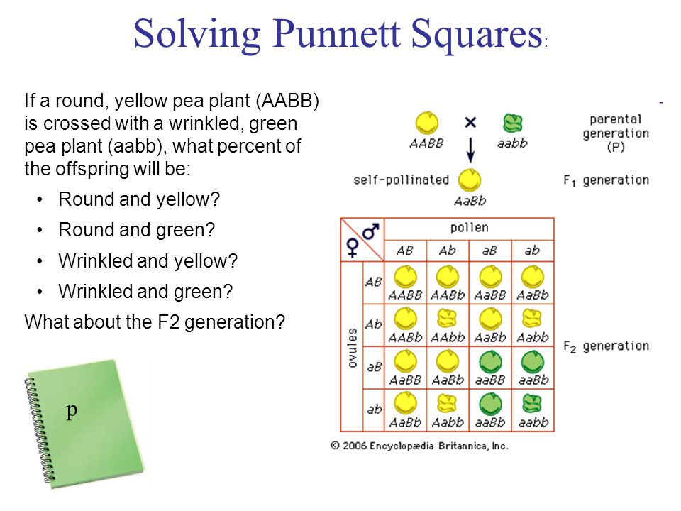 Solving Punnett Squares : If a round, yellow pea plant (AABB) is crossed with a wrinkled, green pea plant (aabb), what percent of the offspring will be: Round and yellow.
