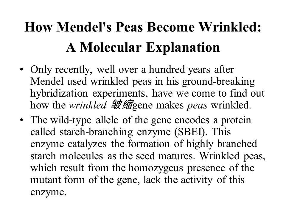 How Mendel s Peas Become Wrinkled: A Molecular Explanation Only recently, well over a hundred years after Mendel used wrinkled peas in his ground-breaking hybridization experiments, have we come to find out how the wrinkled 皱缩 gene makes peas wrinkled.