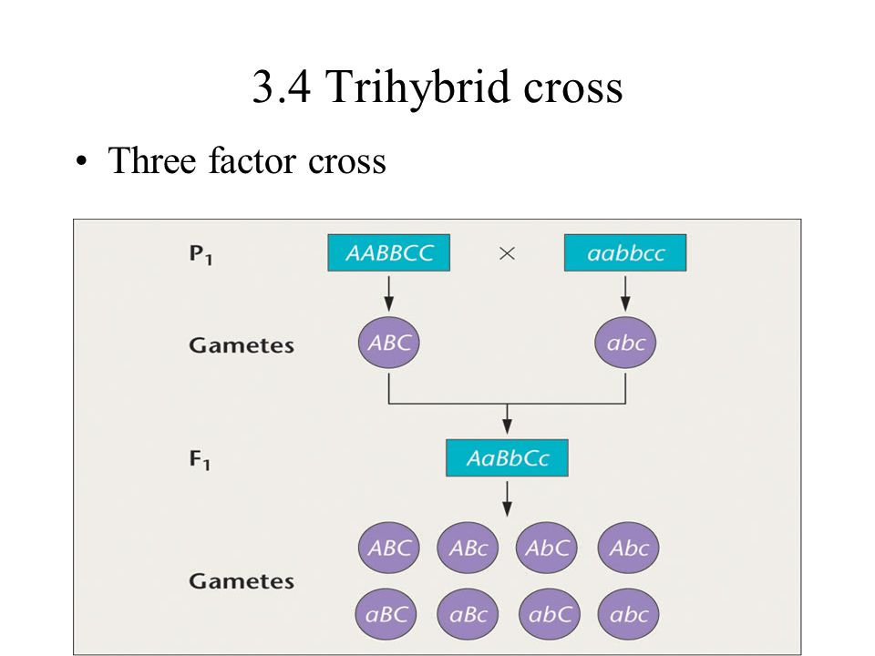 3.4 Trihybrid cross Three factor cross