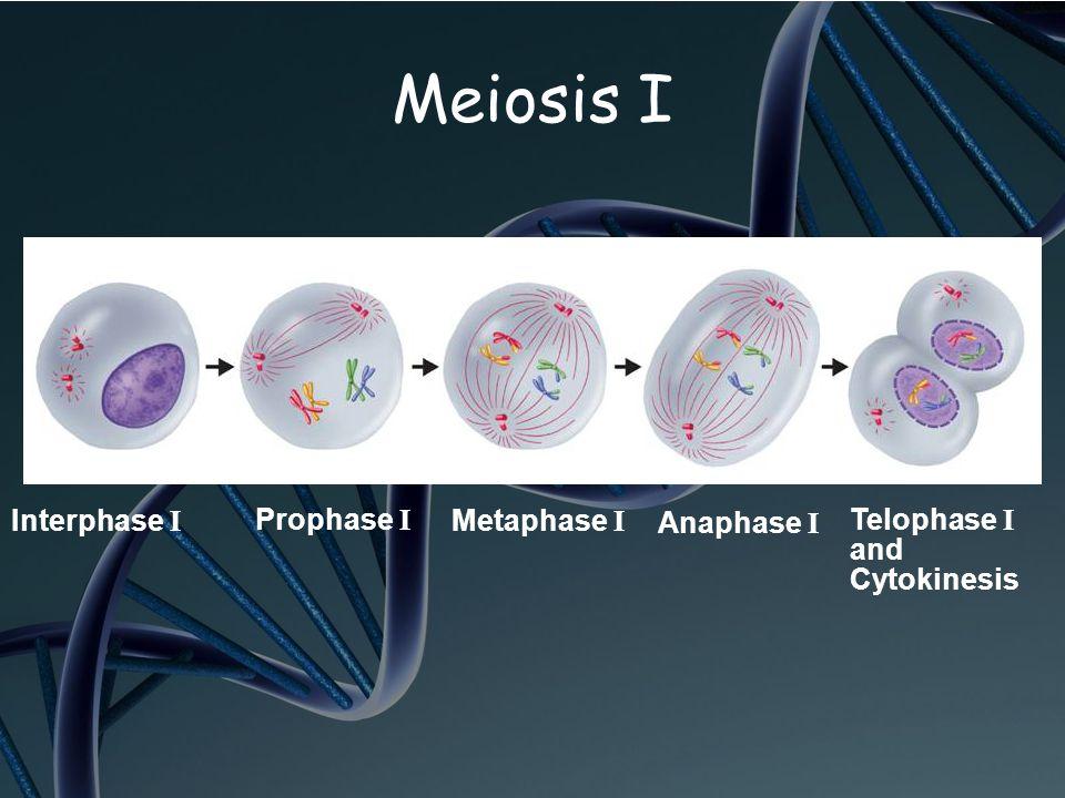 Prophase I Metaphase I Anaphase I Telophase I and Cytokinesis Interphase I Meiosis I