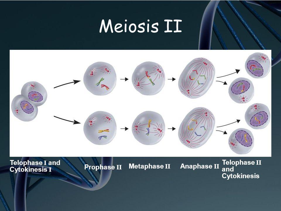 Telophase II and Cytokinesis Prophase II Metaphase II Anaphase II Telophase I and Cytokinesis I Meiosis II