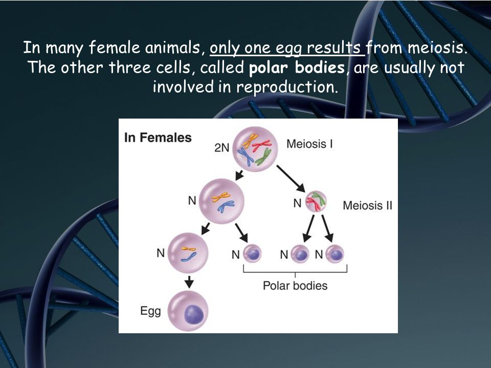 In many female animals, only one egg results from meiosis. The other three cells, called polar bodies, are usually not involved in reproduction.