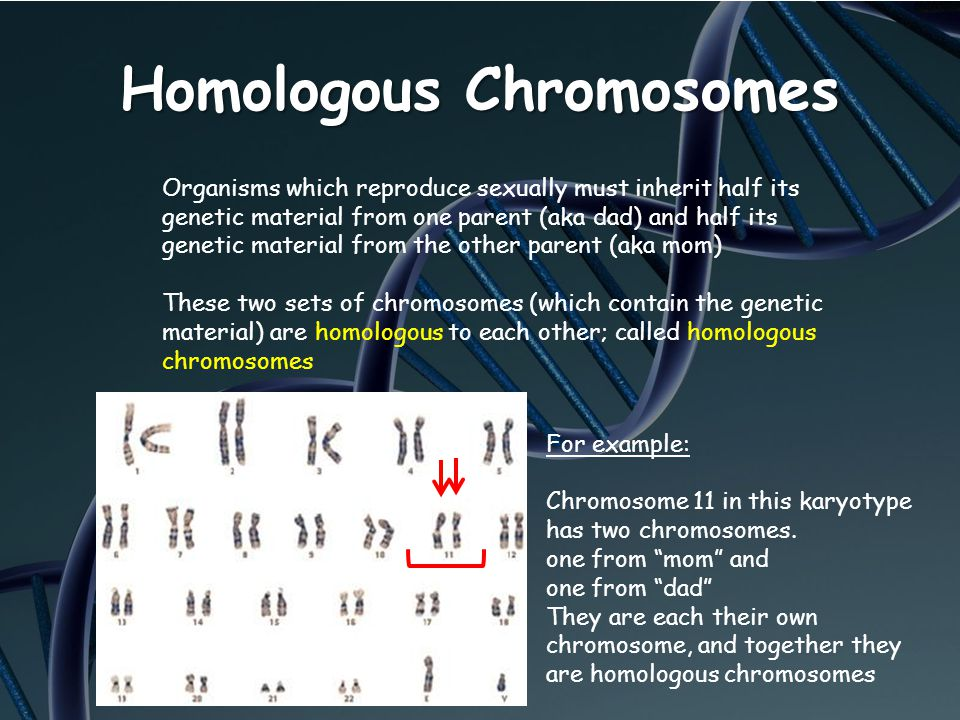 Homologous Chromosomes Organisms which reproduce sexually must inherit half its genetic material from one parent (aka dad) and half its genetic materi