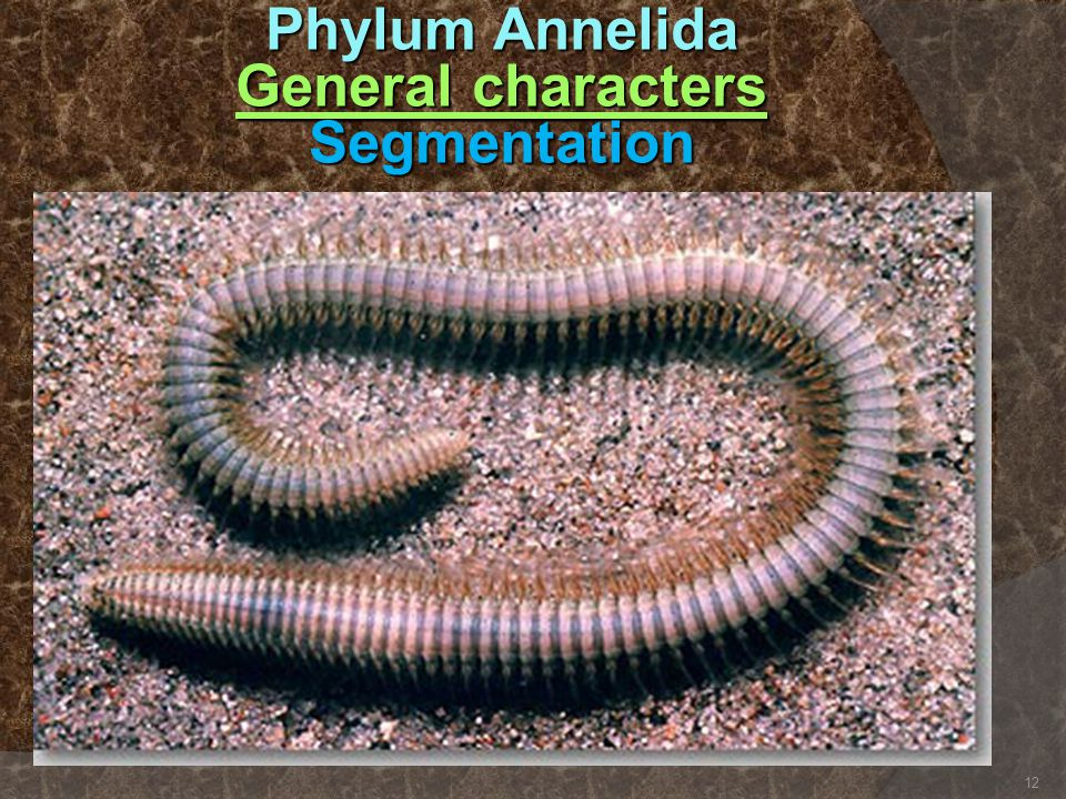 Phylum Annelida General characters Segmentation 12
