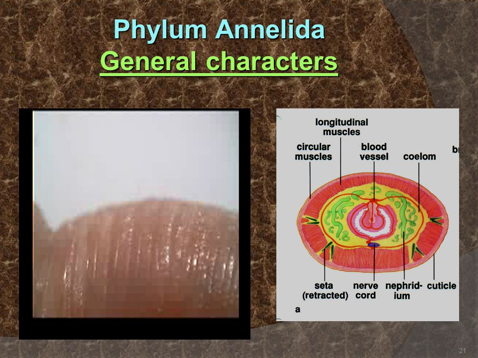 Phylum Annelida General characters 21