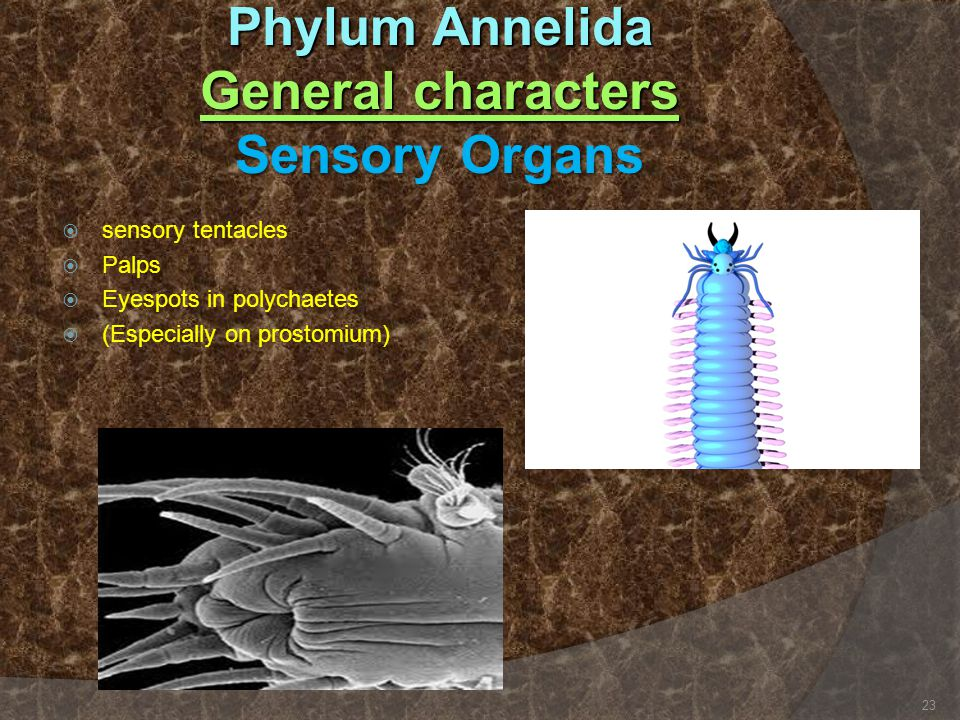 Phylum Annelida General characters Sensory Organs  sensory tentacles  Palps  Eyespots in polychaetes  (Especially on prostomium) 23