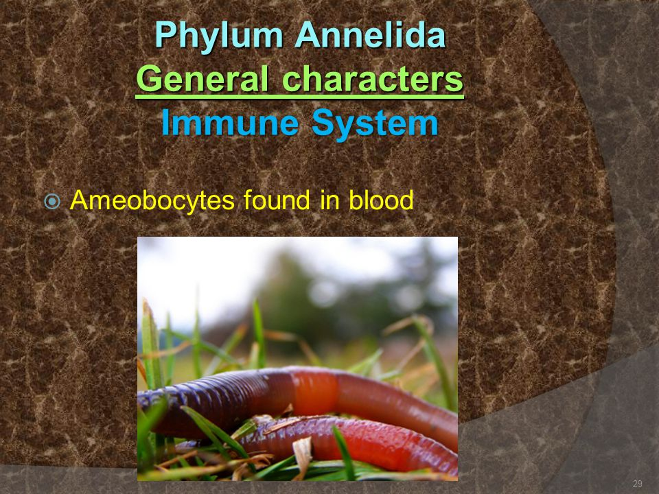 Phylum Annelida General characters Immune System  Ameobocytes found in blood 29