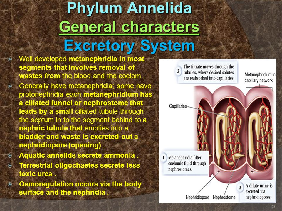 Phylum Annelida General characters Excretory System  Well developed metanephridia in most segments that involves removal of wastes from the blood and