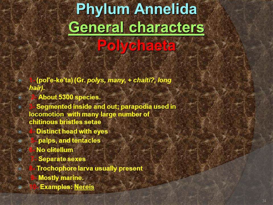 Phylum Annelida General characters Polychaeta  1- (pol'e-ke'ta) (Gr. polys, many, + chaiti?, long hair).  2- About 5300 species. used in locomotion