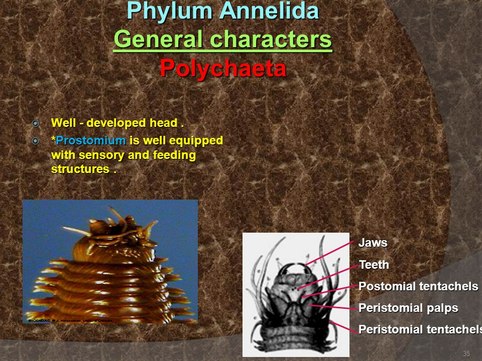 Phylum Annelida General characters Polychaeta  Well - developed head.  *Prostomium is well equipped with sensory and feeding structures. JawsTeeth P
