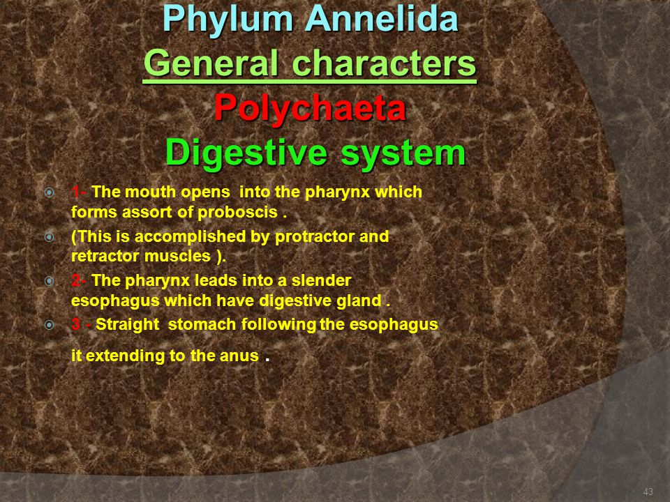 Phylum Annelida General characters Polychaeta Digestive system  1- The mouth opens into the pharynx which forms assort of proboscis.  (This is accom